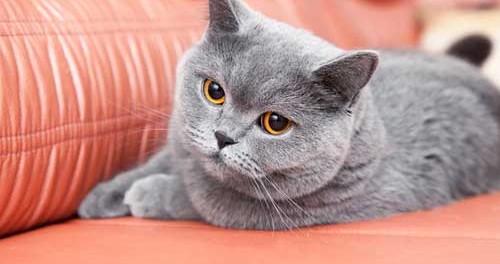Cute Little Gray Cat For Wallpaper Britanska Kratkodlaka Mačka Mali Slatki Pli Ani Meda