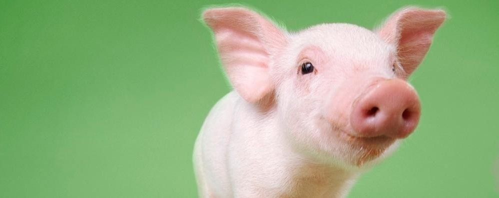Animal Print Desktop Wallpaper Pigs Zoetis