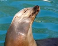www.zoo-wuppertal.net - Kalifornischer Seelwe