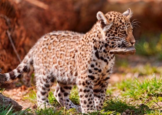 Tiger Animal Wallpaper Jaguar Cub At Bratislava Zoo By Emmanuel Keller 1