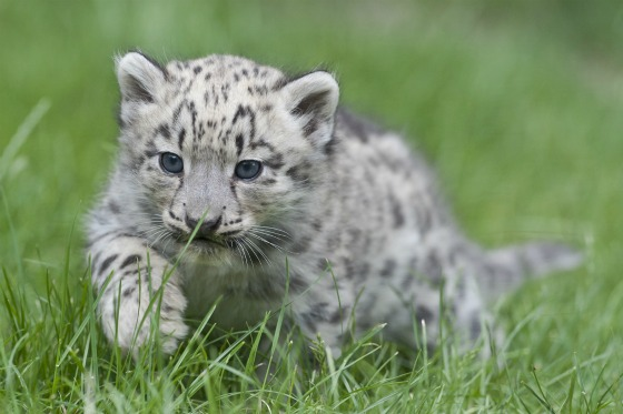Fluffy And Cute Wallpapers Snow Leopard Mom Has Her Paws Full With Triplets Zooborns
