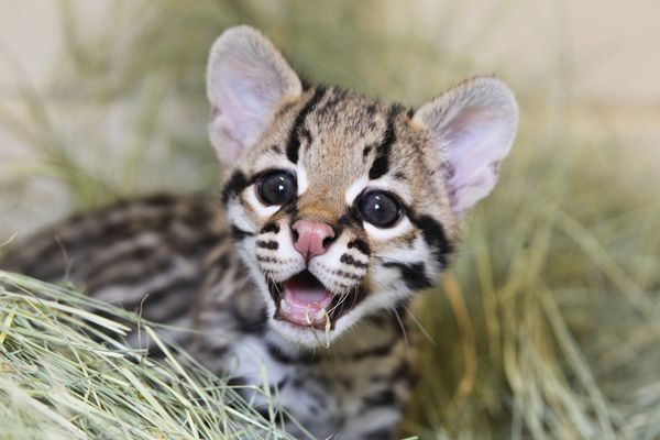Cute Baby And Mother Wallpaper Quot Miracle Quot Ocelot Kitten Born At Cameron Park Zoo Zooborns