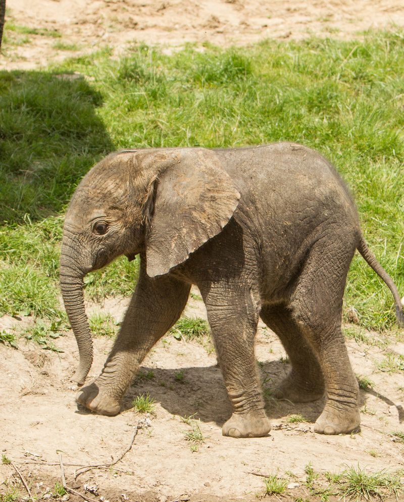 Cute Small Baby Girl Wallpapers Baby Elephant Makes Public Debut At Howletts Wild Animal