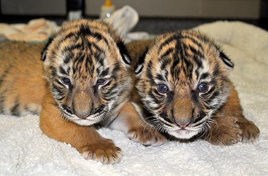 Cute Baby Tiger Wallpaper Malayan Tiger Brothers Stick Together Zooborns