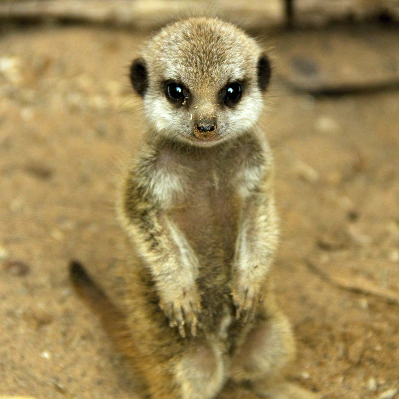 Small Cute Babies Hd Wallpapers The Pitter Patter Of Tiny Meerkat Feet Zooborns