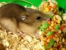 djungarian_hamster