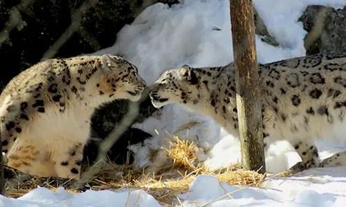 Black Leopard Hd Wallpaper Snow Leopard Stone Zoo