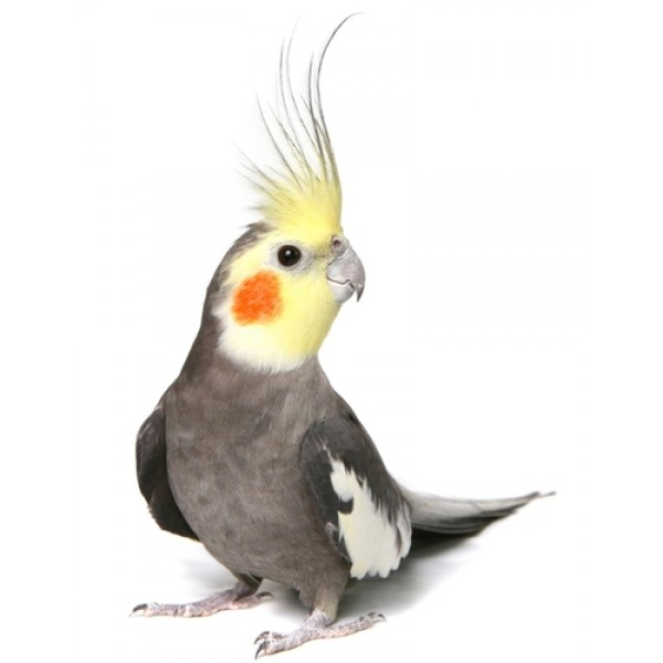 Cute Parakeet Wallpaper Nimfa
