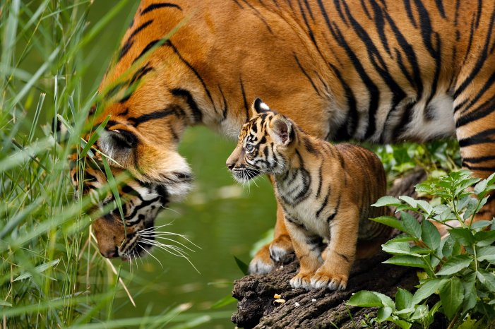 Cute Tiger Cubs Wallpapers Illegal Trade Of Body Parts Threatens Tiger Survival