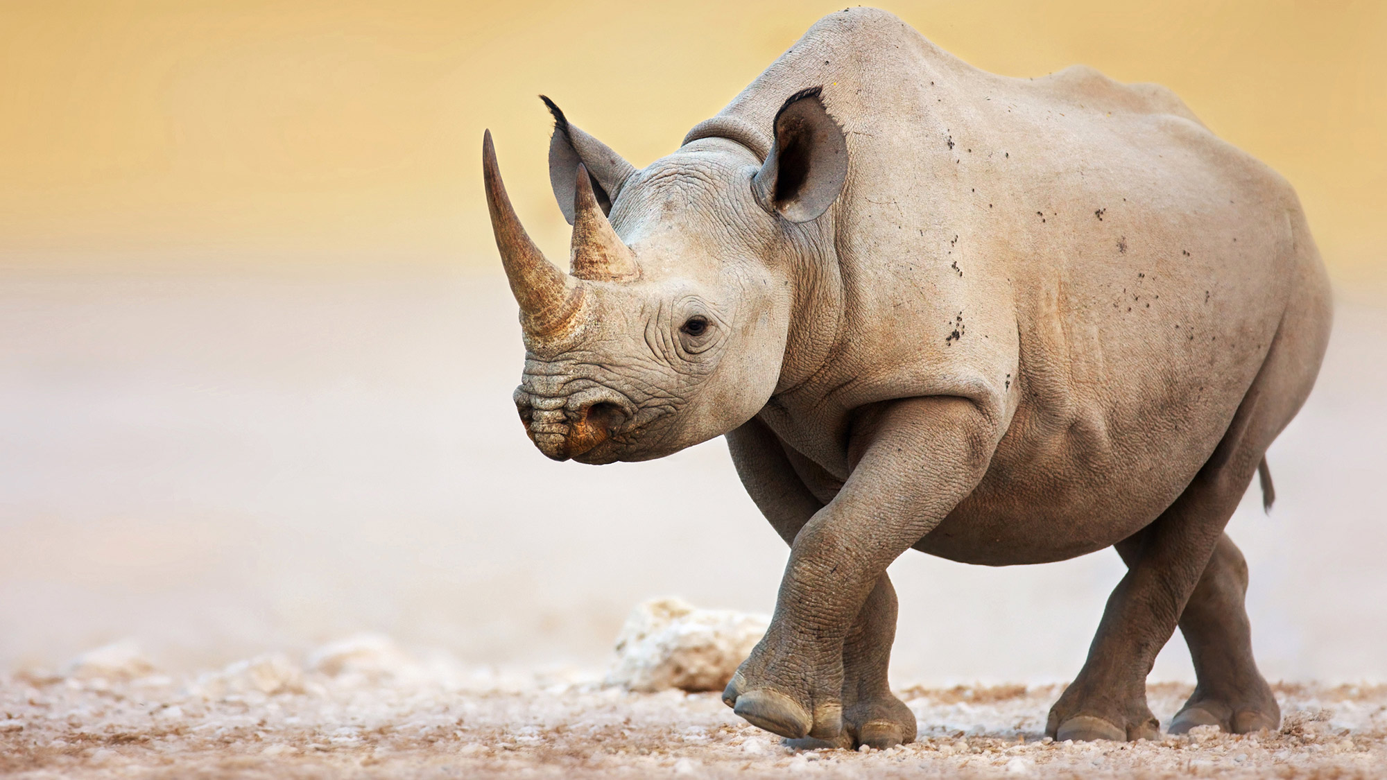 Animal Planet Wallpaper Hd Rhino Impact Investment Project Zoological Society Of