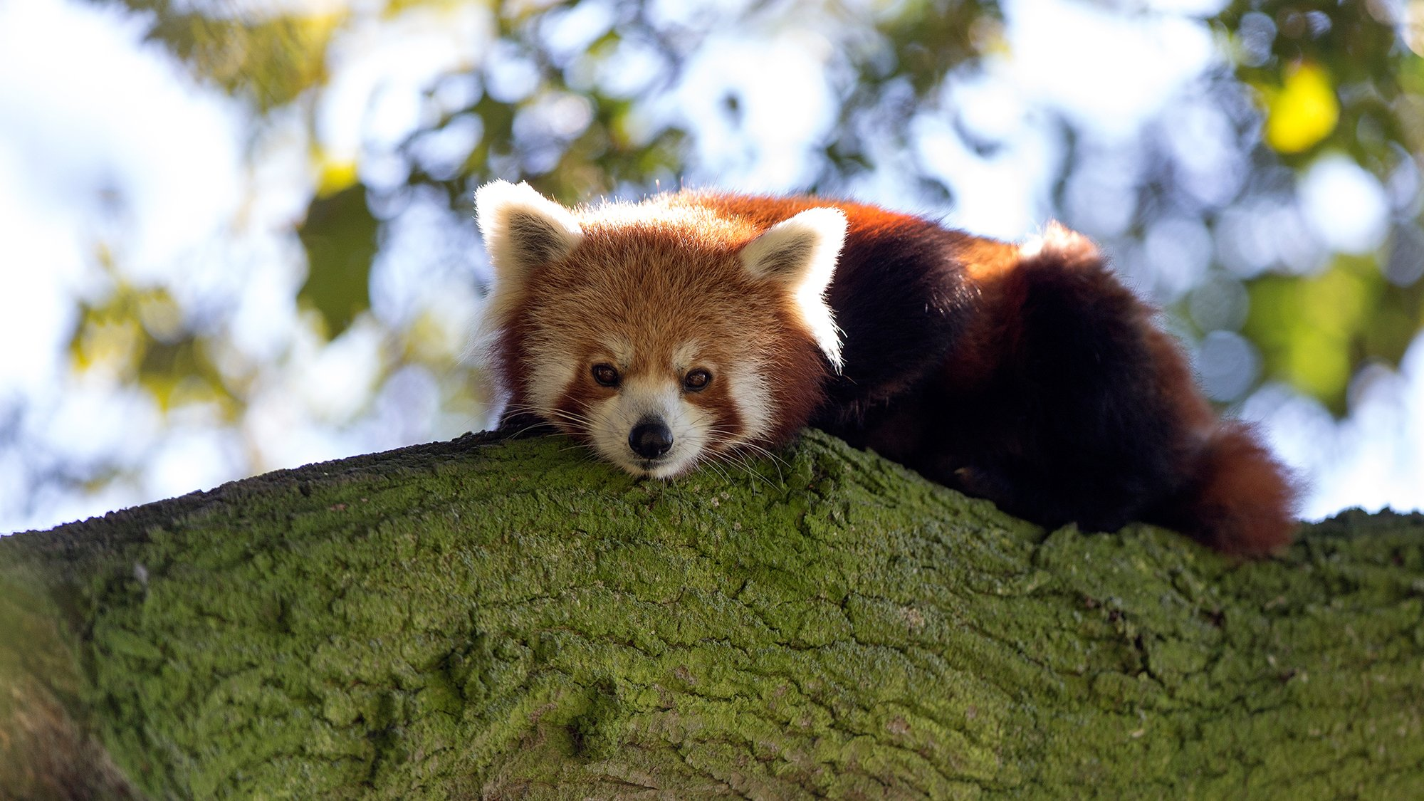 Hd Cute Panda Wallpaper Red Panda 2 Jpg