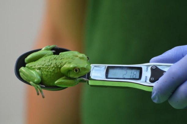 Weighting a tiny frog with a spoon balance.