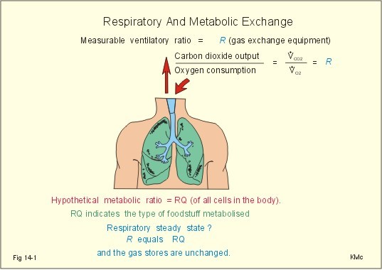 New Human Physiology Ch 14