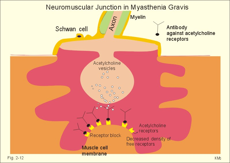 New Human Physiology Ch 2 - neuromuscular junction