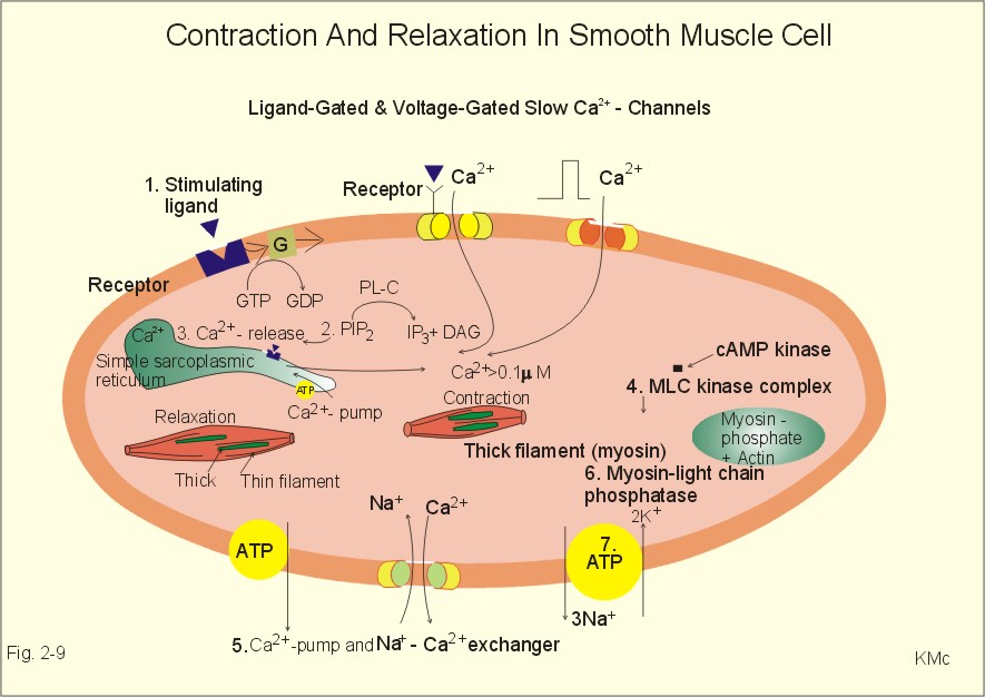 Smooth muscle contraction Physiology Pinterest Muscle - contract important elements