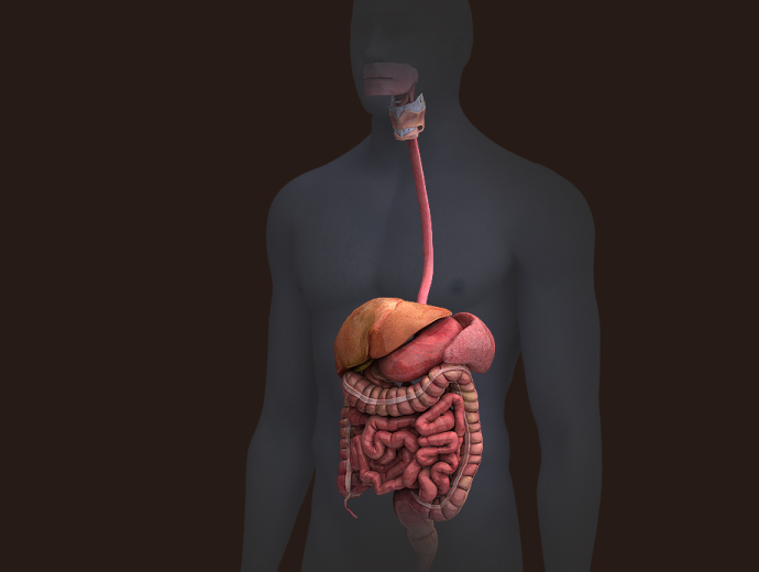 Animation Wallpaper Hd Free Download Zygote 3d Male Digestive System
