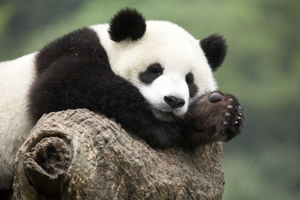 Cute Dog Wallpaper Backgrounds Dessins En Couleurs 224 Imprimer Panda Num 233 Ro 685836