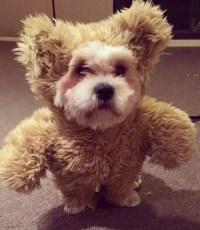 Teddy Bear - The Best Dog Costumes on Instagram - Livingly