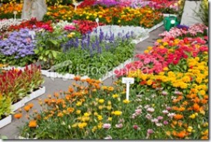 istockphoto_9943363-garden-center-with-outdoor-fresh-flowers-for-spring-planting