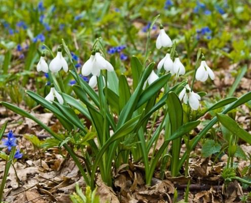 closeup white spring snowdrops