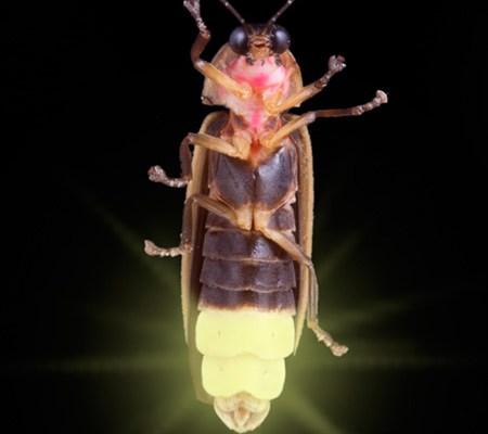 firefly-closeup