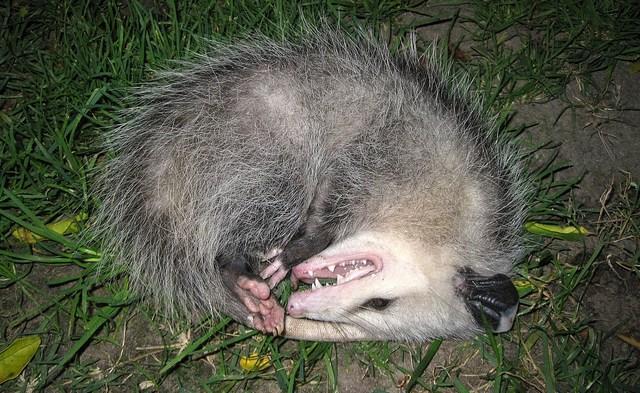 Dead Possum (No. 1)