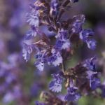 Walker's Low Catmint