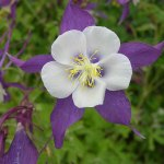Columbine 'Remembrance'®