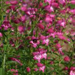 Penstemon 'Red Rocks'