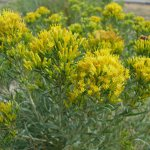 Tall Blue Rabbitbrush