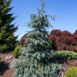 Picea englemanii 'Bush's Lace' | Photo courtesy of Iseli Nursery