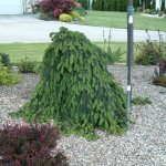 Picea abies pendula, Weeping Norway Spruce | Photo courtesy of Bron & Sons Nursery Co.