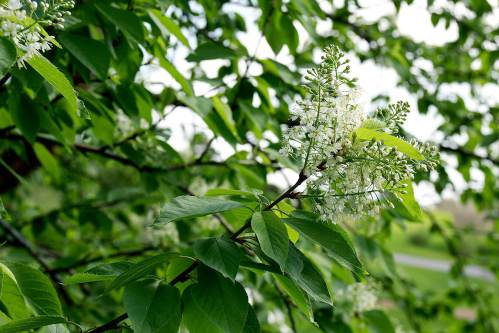 Medium Of Canada Red Chokecherry