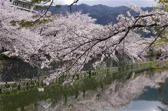 岡崎の桜 見ごろ