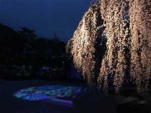 高台寺 夜桜