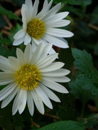 熊本県阿蘇郡西原村の花のぎく