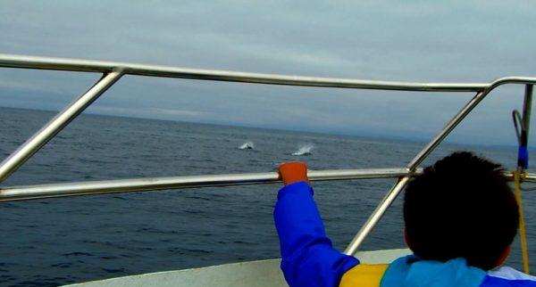 羅臼沖のクジラクルーズ。イシイルカが並走中です♪