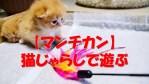 【マンチカン】猫じゃらしで遊ぶチビ猫とラストシーンに注目