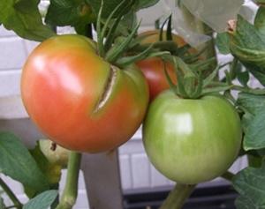 tomato003
