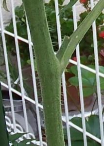tomato-kikon (2)