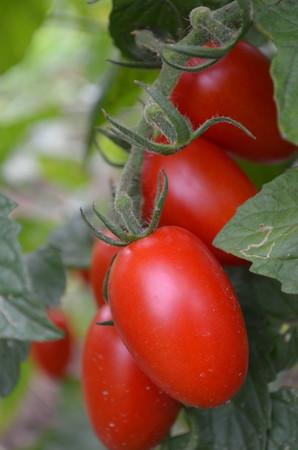 mini-tomato003