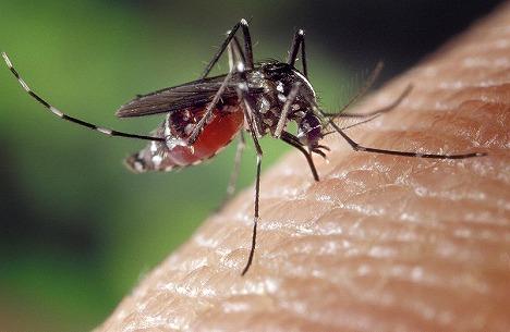 laos_mosquito