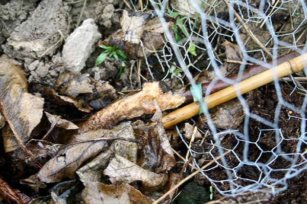 Så här såg det ut på flera håll våren 2014 i Puttmyra skogsträdgård. Vi prickade in ett sorkår och förlorade ett tiotal äppelträd.