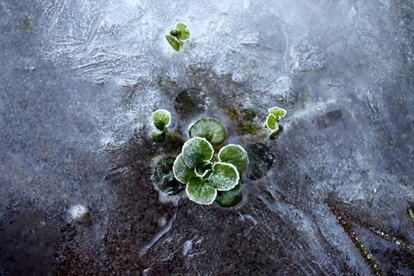 Vattenkrasse (Nasturtium officinale) tillhör härdighetsklassen D och är därmed en av de minst härdiga fleråriga grönsakerna. Dess släkting bäckfräne (Nasturtium microphyllum) är dock mycket härdigare och växer vilt i rinnande vatten långt upp i landet.