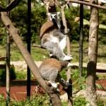 Lemur_maki1