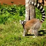 Lemur_maki2