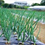 【玉ねぎ栽培】良い苗の選び方や失敗しない植え付け方は?