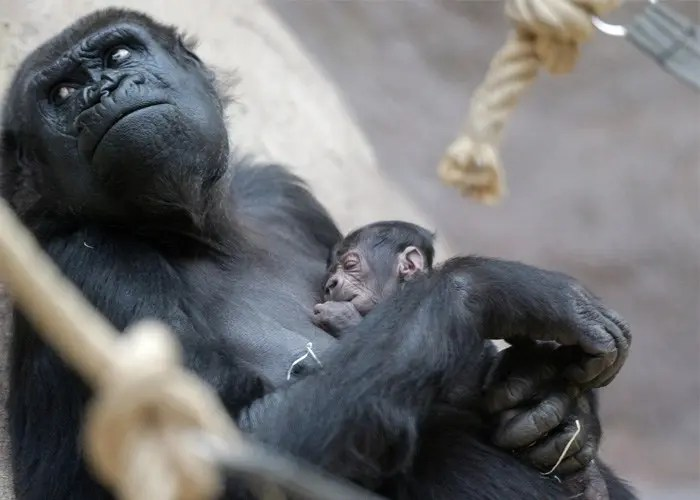 gorila-con-cria