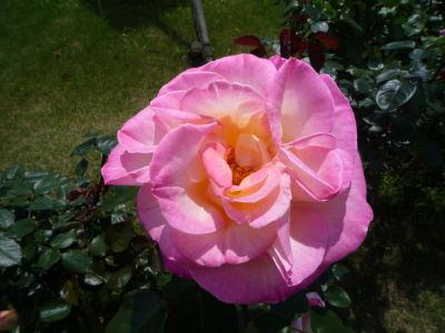 バカテル公園のバラ3