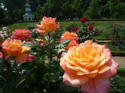 バカテル公園のバラ1